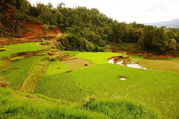 12 - field rice view again