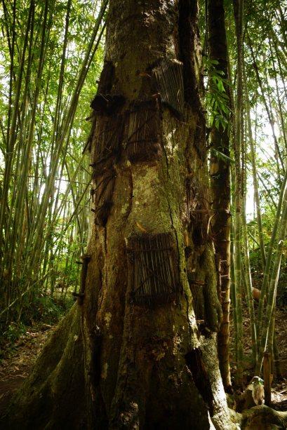 56 - l'arbre ou sont enfouis les bebes dans le tronc