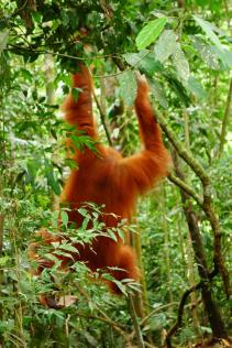 l'orang-outang nous tourne le dos
