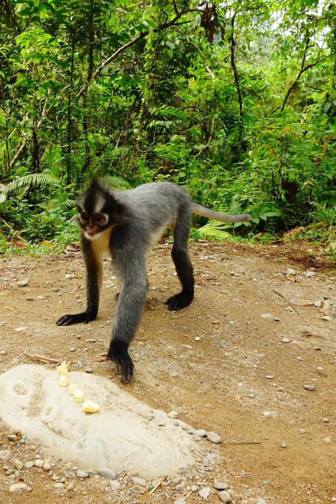un voleur de banane. le thomas leaf monkey