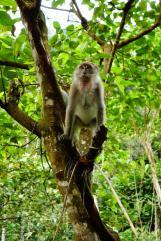 un macaque qui s'invite