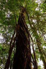 arbre et lianes géantes.