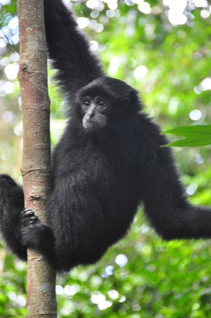 black gibbons photographié par nick