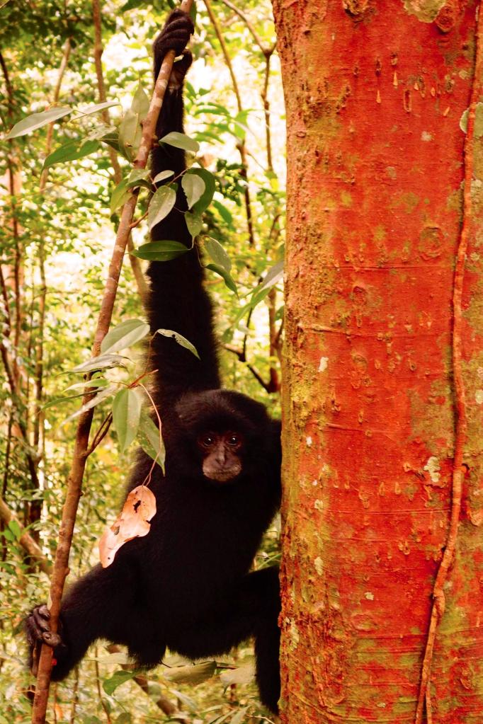 39- ce jeune gibbons nous coure apres a la recherche de nourriture