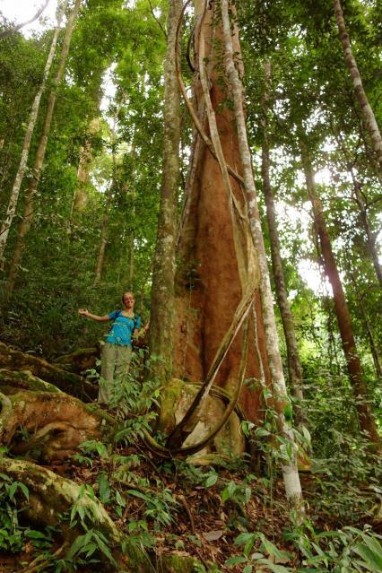 des gros arbres