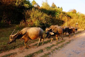 Farmer with its buffalos