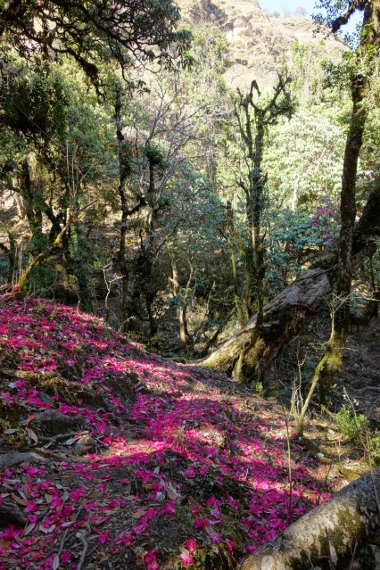 In the Rhododendron forest, a pink carpet recovers the floor