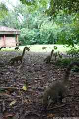 Plenty of coatis, sometimes begging food