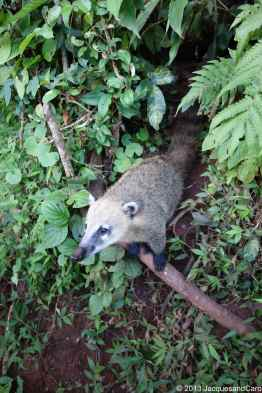 A coatis looking for food