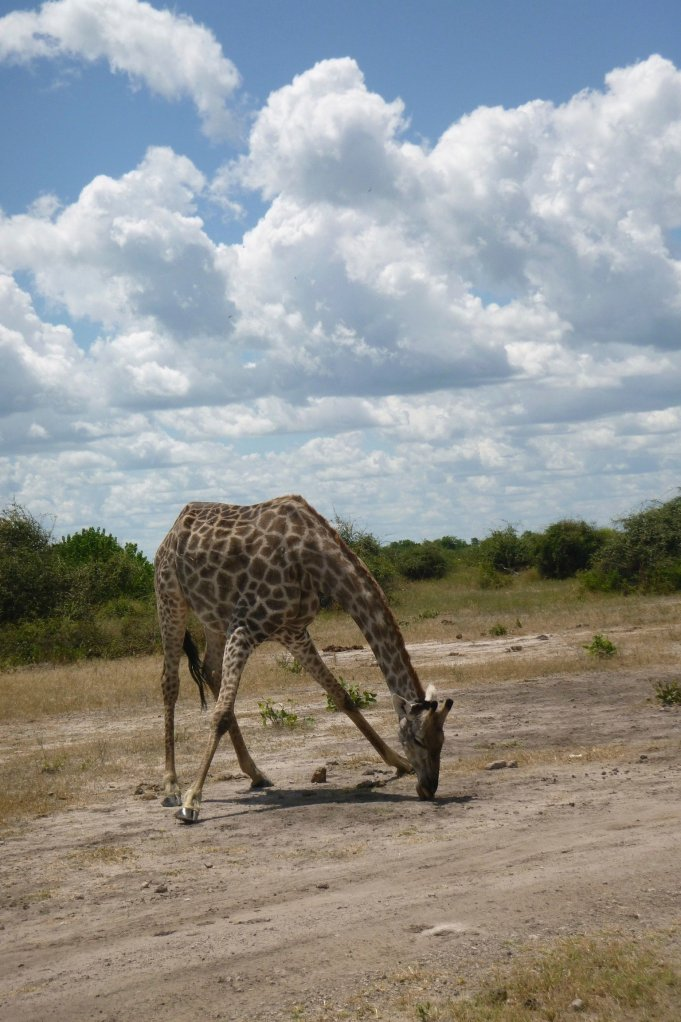 Girafe licking the floor to get the mineral