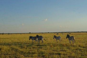 Zebra running away