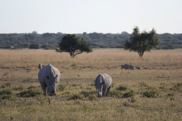 Mother Rhino and its calf