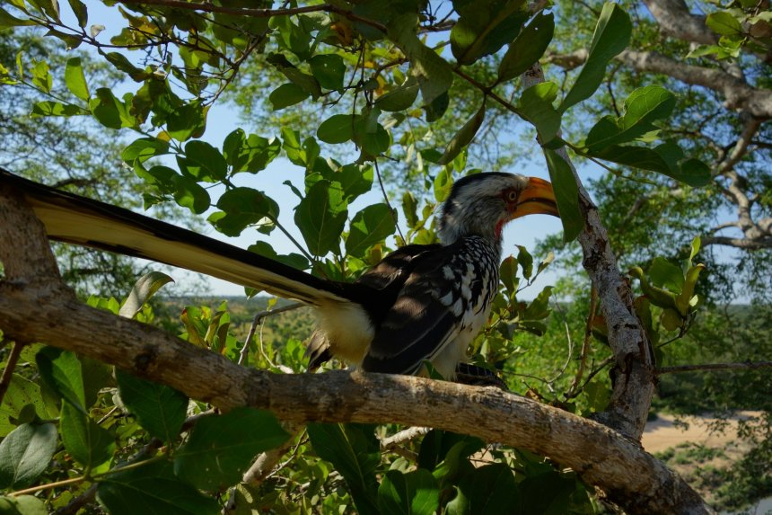 Flying banana or Yellow Billed hornbill