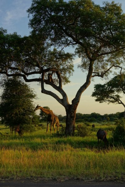 A few meters from Satara camp, a lot of giraffes eating acacia trees