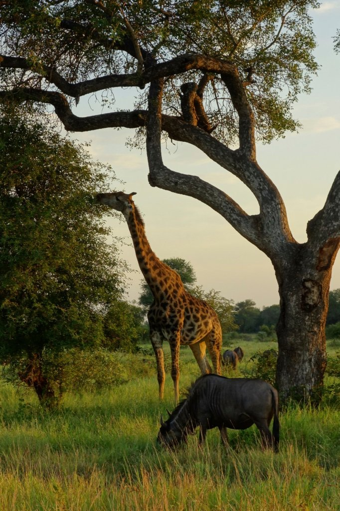 Giraffe and gnou (or Wildebeest)