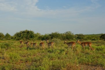 Group of Impala gathering before Sunset