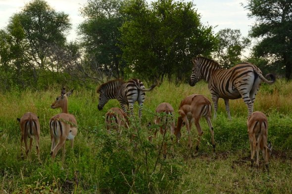 Impala and zebras living in harmony both being at the end of the food chain