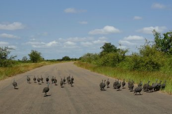 Groups of Franklin birds on the road
