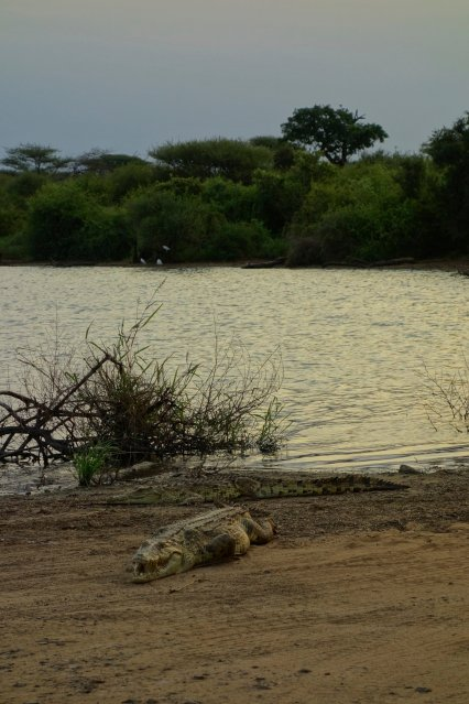 Even the crocodiles don't move… too much eating..
