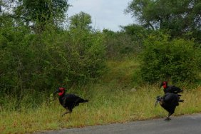 Another special big bird, the Ground Hornbill