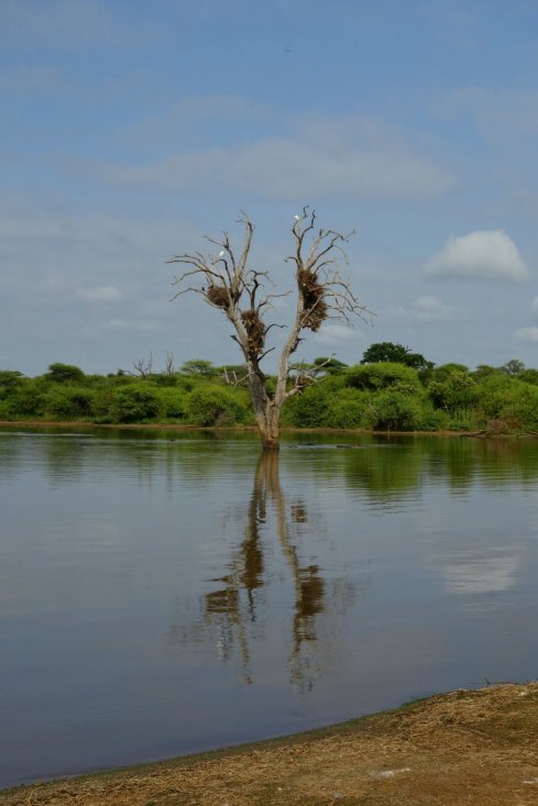At lower Sabie dam, nothing to notice, except these massive birds nests on the dead tree