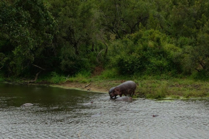 Mr Hippos having fun