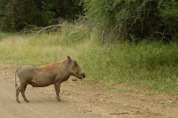 Ah, Pumba!!! where is Timon?