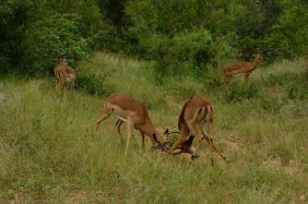 While some bachelor Impala improve the fighting skills to kick out the current leader