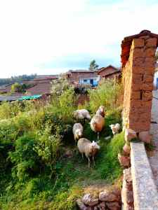 Sheep in Chinchero