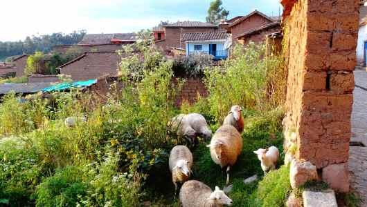 Sheep in Chinchero
