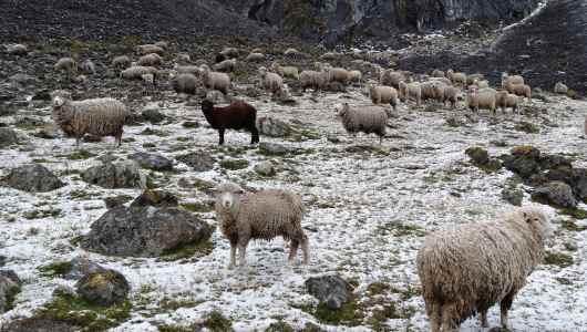 Sheeps starring at me