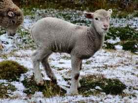 Cut little lamb on a hail floor