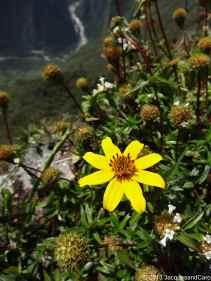 Flower of Machupicchu