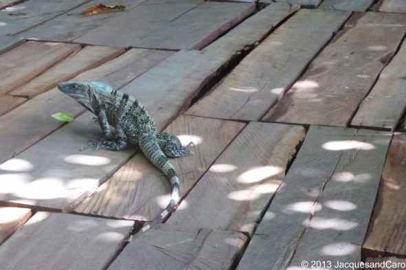 Iguane looking for food during our breakfast