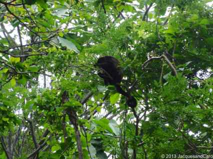 Howler monkey in the trees above our cabin