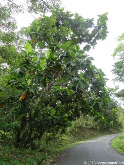 With a bike, we crossed the 16km that separated us from the north of the island.. A beautiful tree: the bread fruit tree...