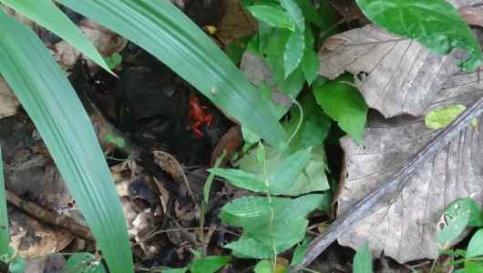 Red frog… can you see it?
