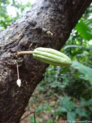 Very young cacao (almost a flower) and almost mature cacao fruit...